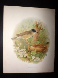 Butler, Frohawk & Gronvold 1908 Antique Bird Print. Blackcap 18
